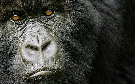 Mountain gorilla portrait in the Virunga mountains.